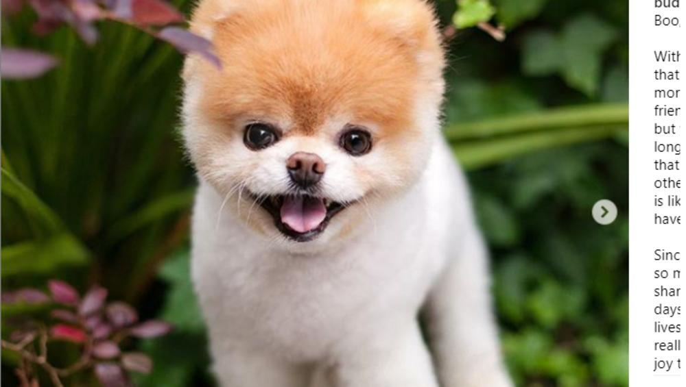 Boo – najsłodszy pies świata nie żyje